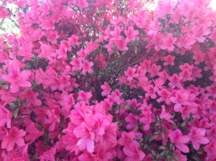 pinkflowers